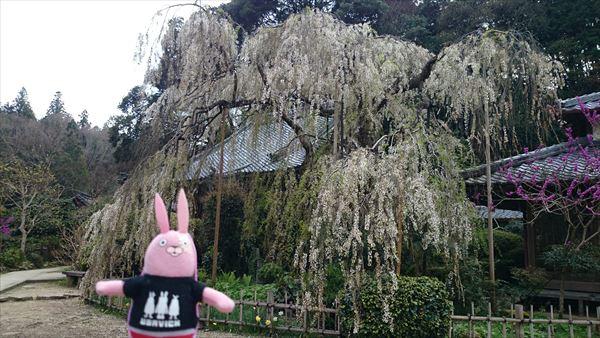 大野寺 枝垂れ桜