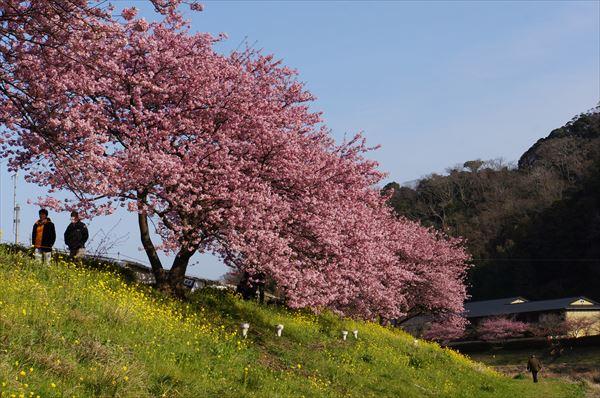 みなみの 桜