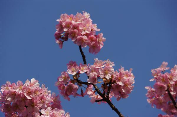 みなみの 桜アップ1
