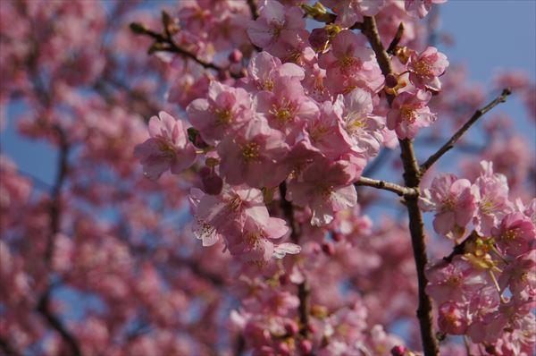 みなみの 桜アップ2
