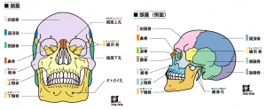 顔面骨・頭蓋骨