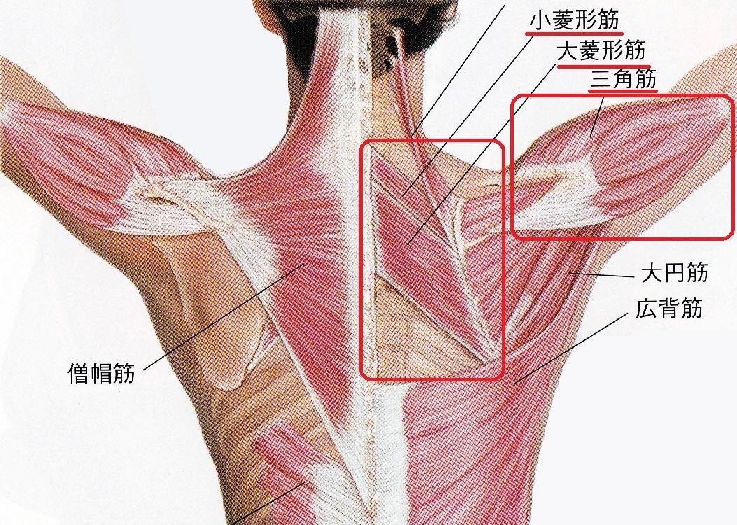 肩 の 筋肉 名前