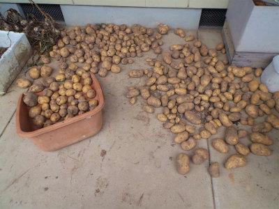 7.4収穫したジャガイモ