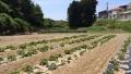 サツマイモ植え2015