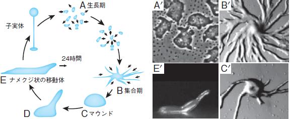 細胞性粘菌の生き残りの戦略は螺...