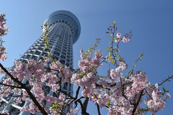 桜とスカイツリー その2
