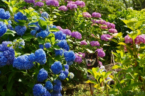 紫陽花 (24)