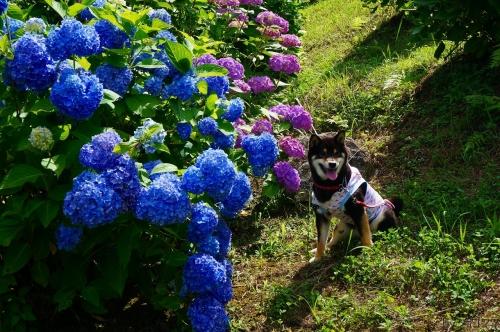 紫陽花 (25)