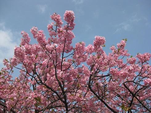 河津桜花ぶり2