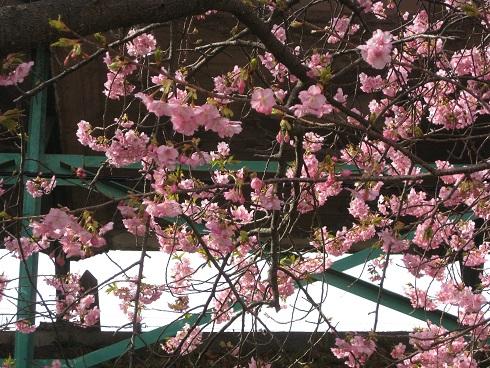 河津桜駅前の桜