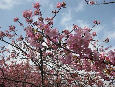河津桜花ぶり