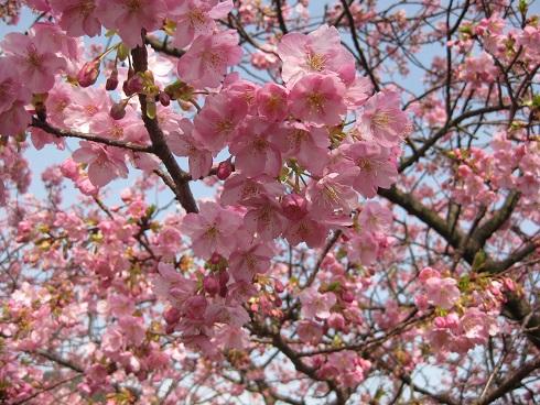 河津桜満開の花