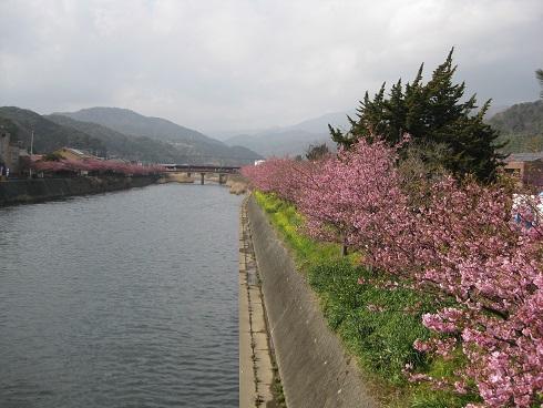 河津桜桜と土手