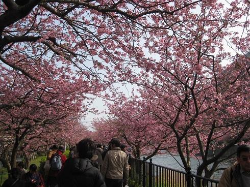 河津桜桜のアーチ
