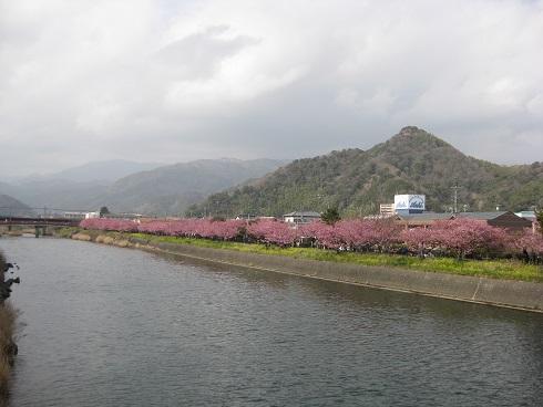 河津桜川沿いに続く桜
