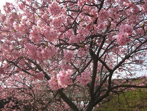 河津桜満開の木
