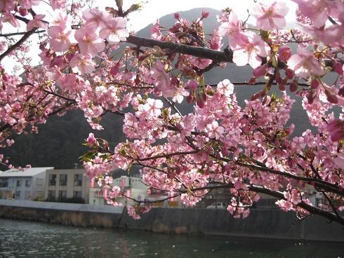 河津桜満開の花と対岸