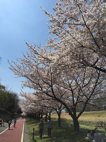 113川越桜