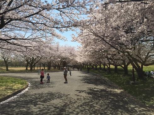 114川越桜