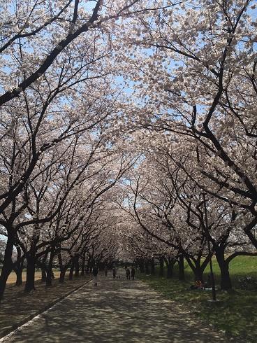 115川越桜