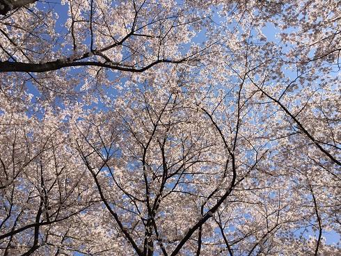 116川越桜