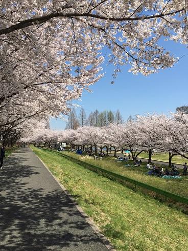 118川越桜