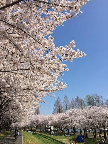 119川越桜