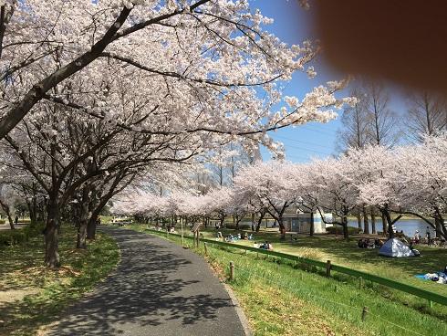 120川越桜
