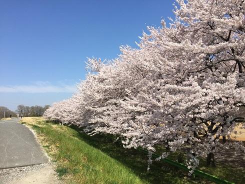 117川越桜