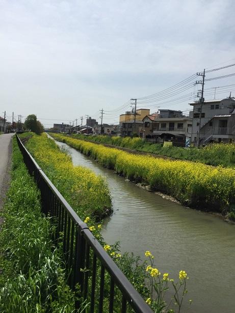 川越川沿い菜の花