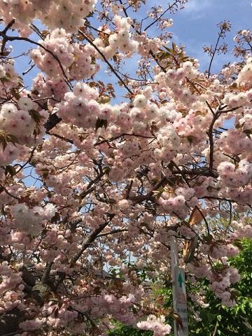 川越川沿い八重桜1
