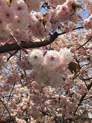 川越川沿い八重桜3