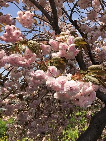 川越川沿い八重桜葉桜