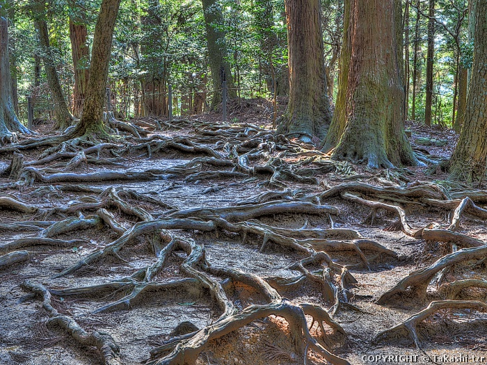 鞍馬木の根道