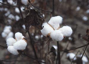 300px-CottonPlant.jpg