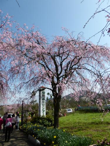 緑化センターの枝垂桜