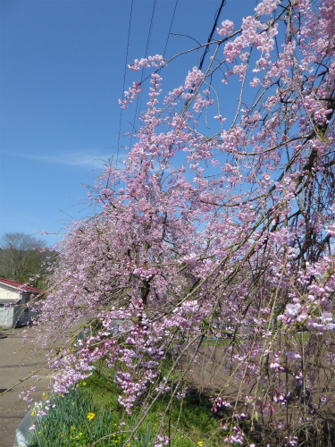 京都府緑化センターの枝垂桜