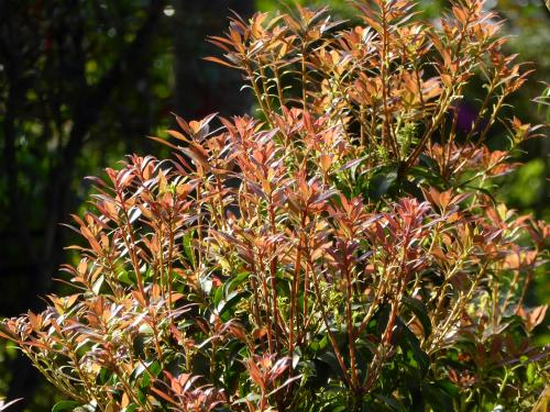 アケボノアセビの新芽