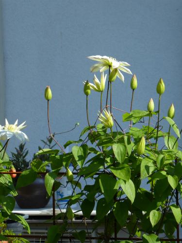 テッセンが咲き始めました。