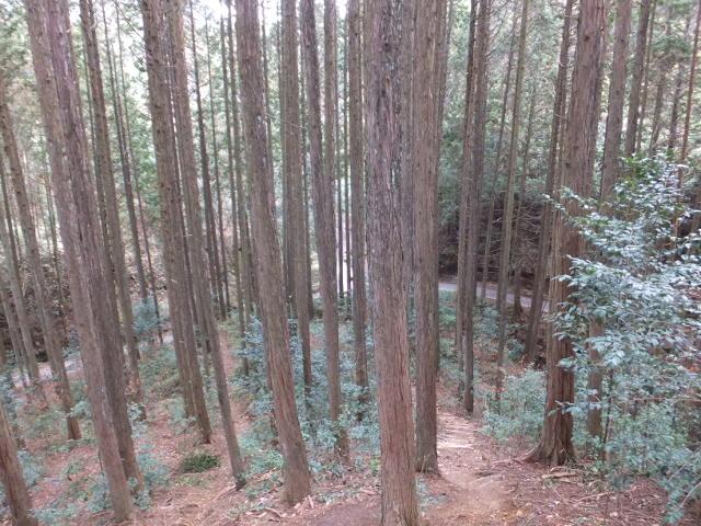 杉林を抜ける