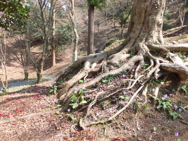 木の根の間にもカタクリの花