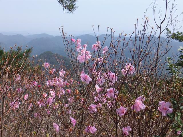 山頂アカヤシオ