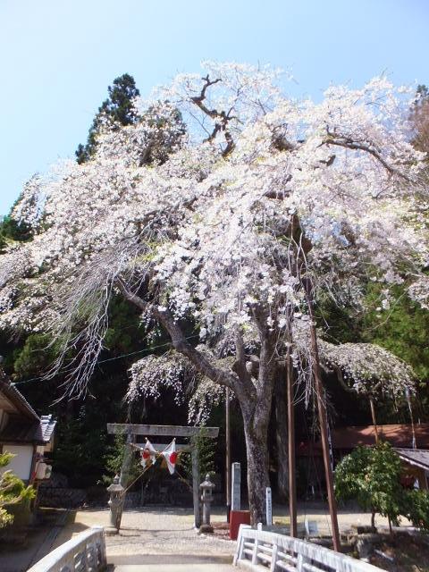 佐見の天王桜