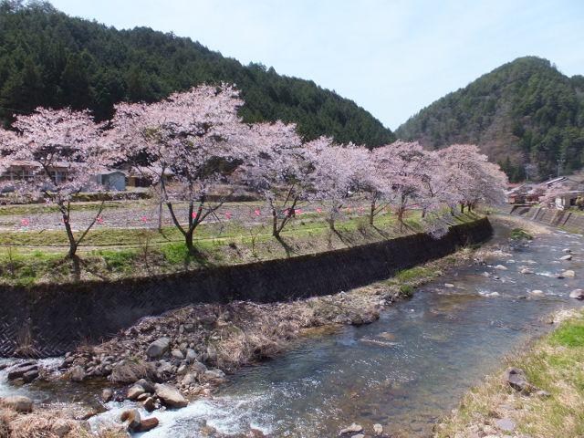 佐見川の桜