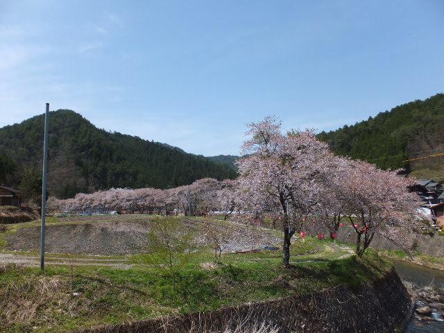 佐見川の桜も見頃です