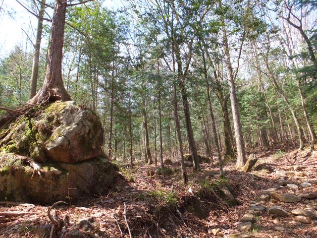 岩に持ち上げられた根