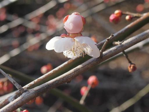20150221・植物01・ウメ(白)