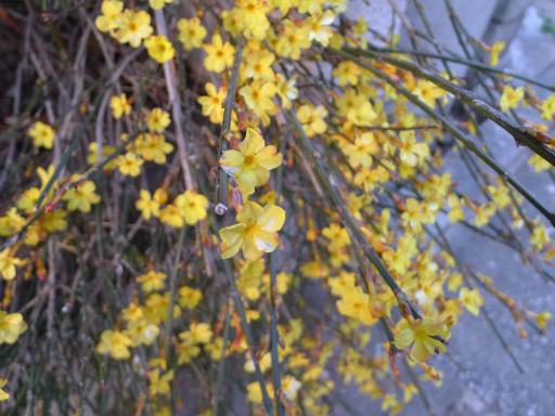 20150228・植物20・オウバイ
