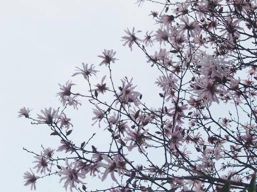 20150322・植物3・ベニコブシ