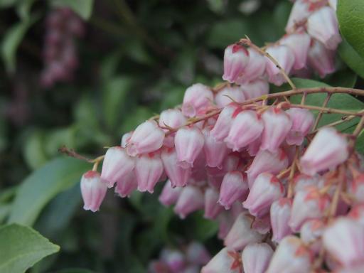 20150322・植物2・アセビ